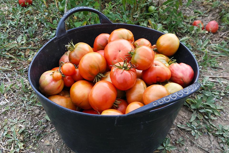 Tomate ecologico